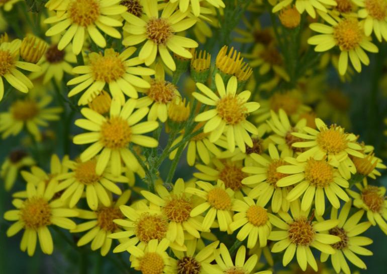 Ragwort mature plant