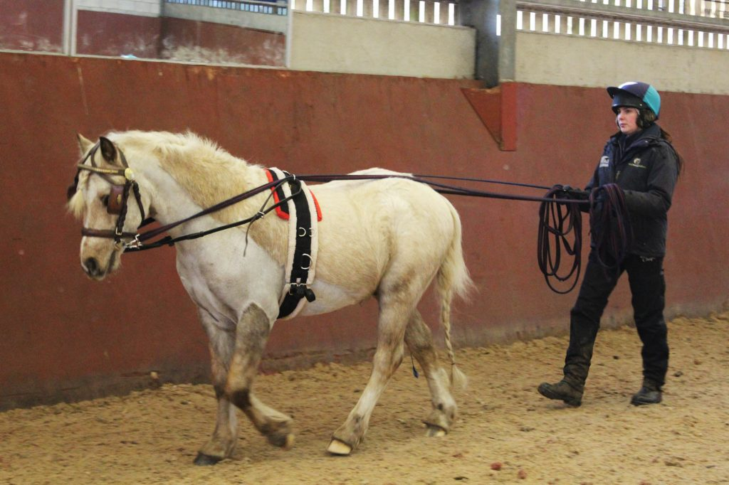 Palomino pony being long reined in an indoor arena