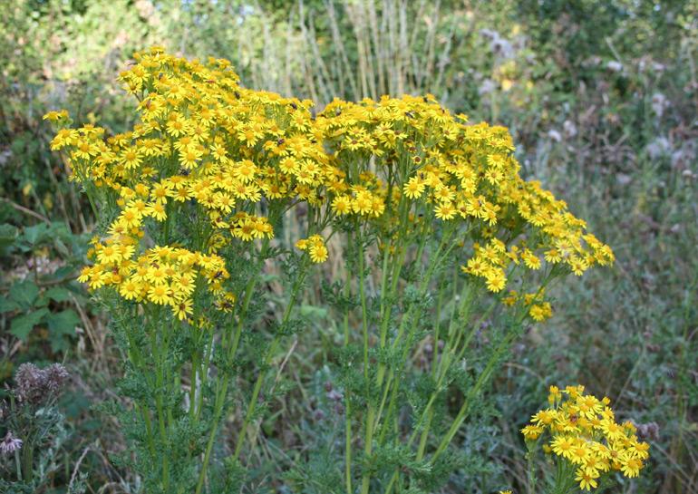 Mature Ragwort plant