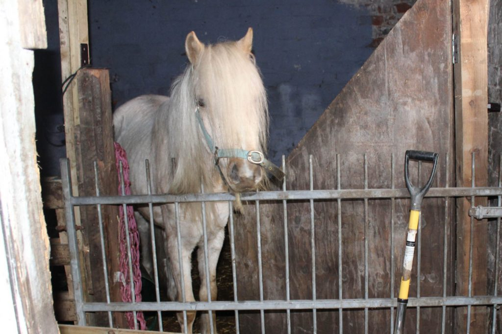 Palomino pony standing in derelict stable