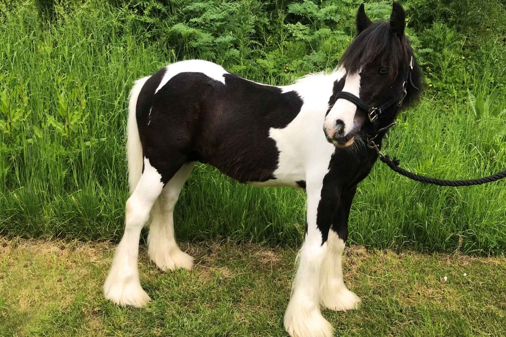 Beautifully turned out piebald pony standing on grass in front of a hedge