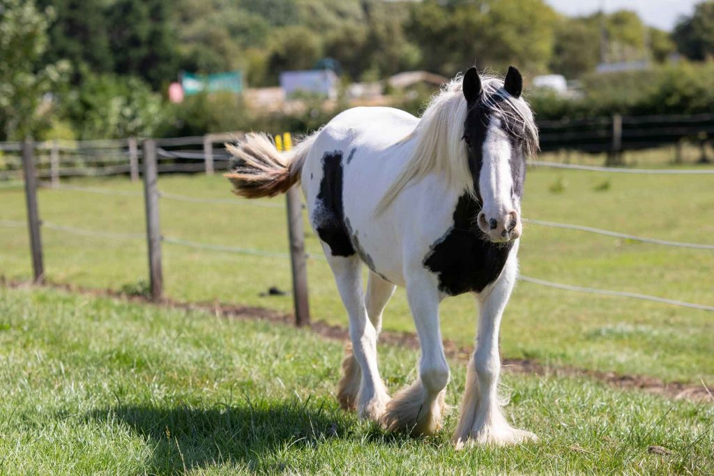 Piebald pony walking along a fence line