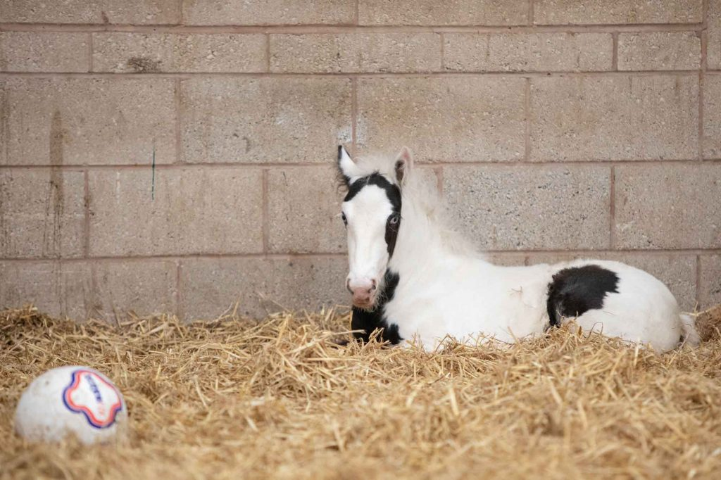 Piebald foal lying in deep straw bed