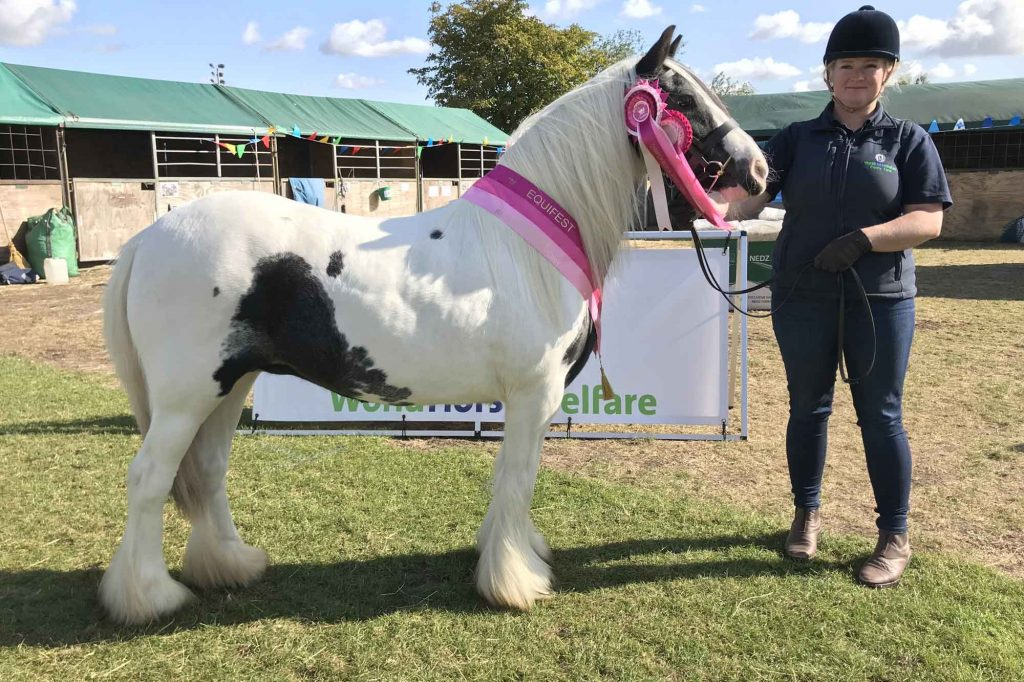 Piebald pony with champion sash and rosette stood with her handler