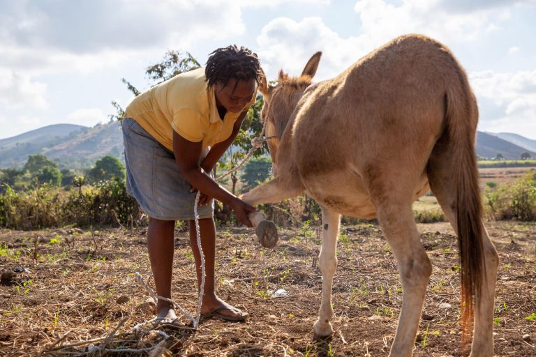 World Horse Welfare thanks public for huge response to UK Aid Match Haiti Appeal