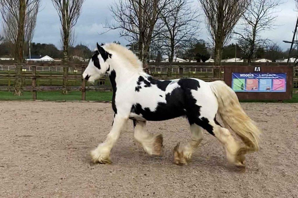 Piebald pony trotting across arena