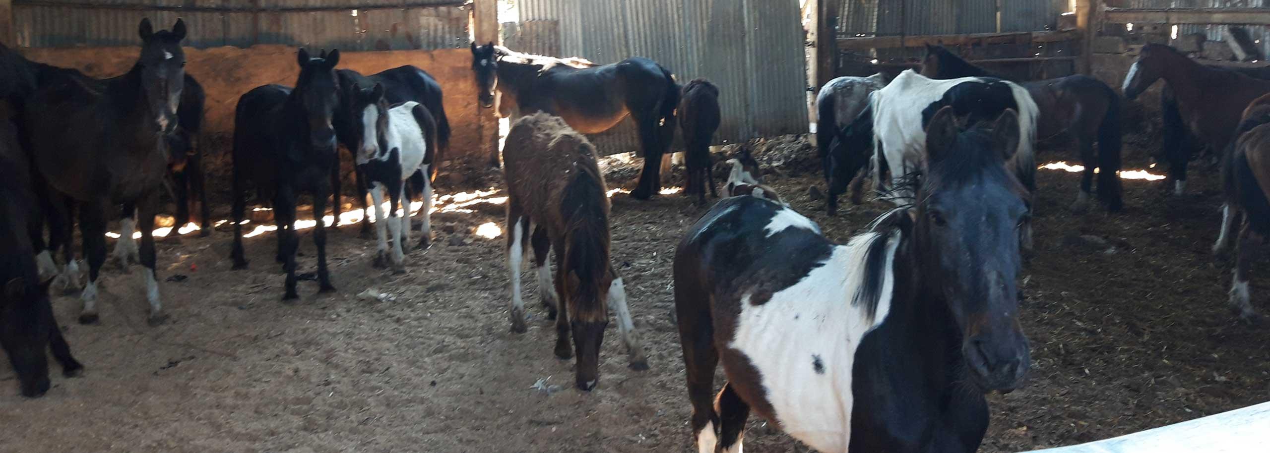 Welfare Line Appeal – a lifeline for horses