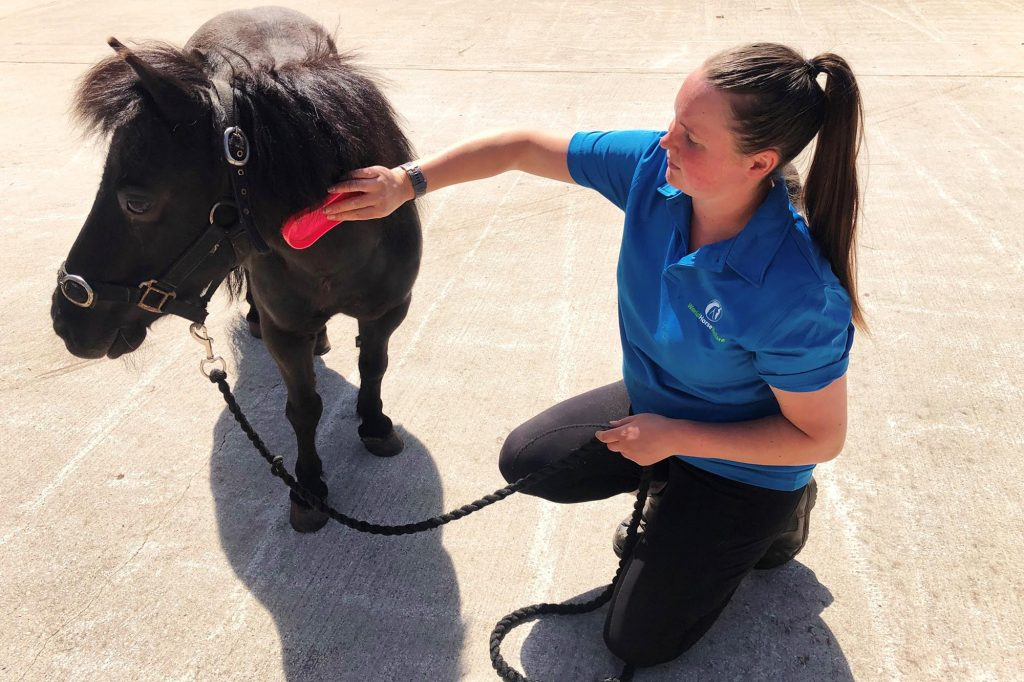 Black pony being groomed by her handler
