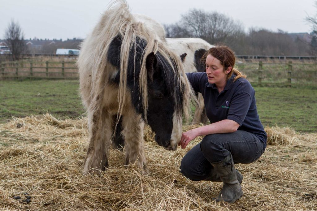 World Horse Welfare Field Officer checking piebald pony in poor condition