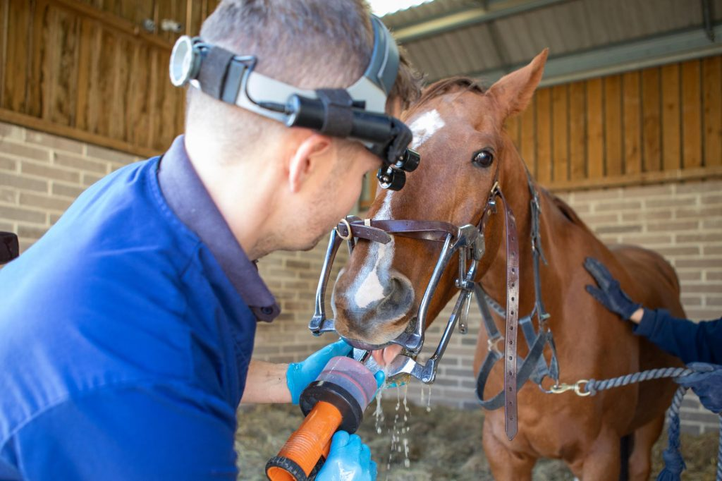 Vet rinsing horse's mouth after dental treatment