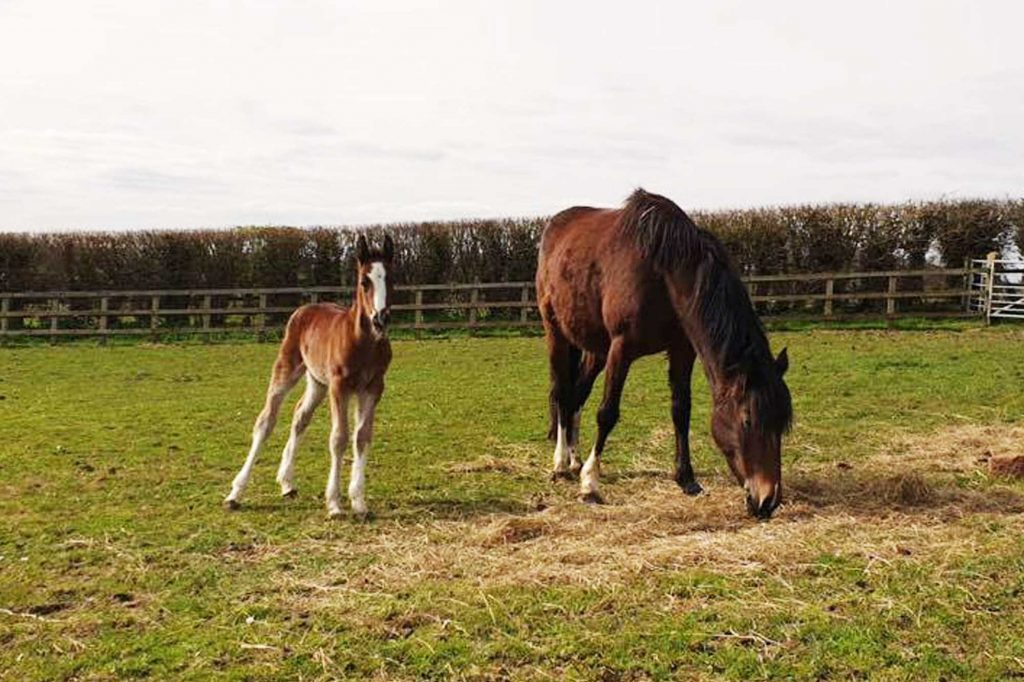 Bay pony with young foal in paddock