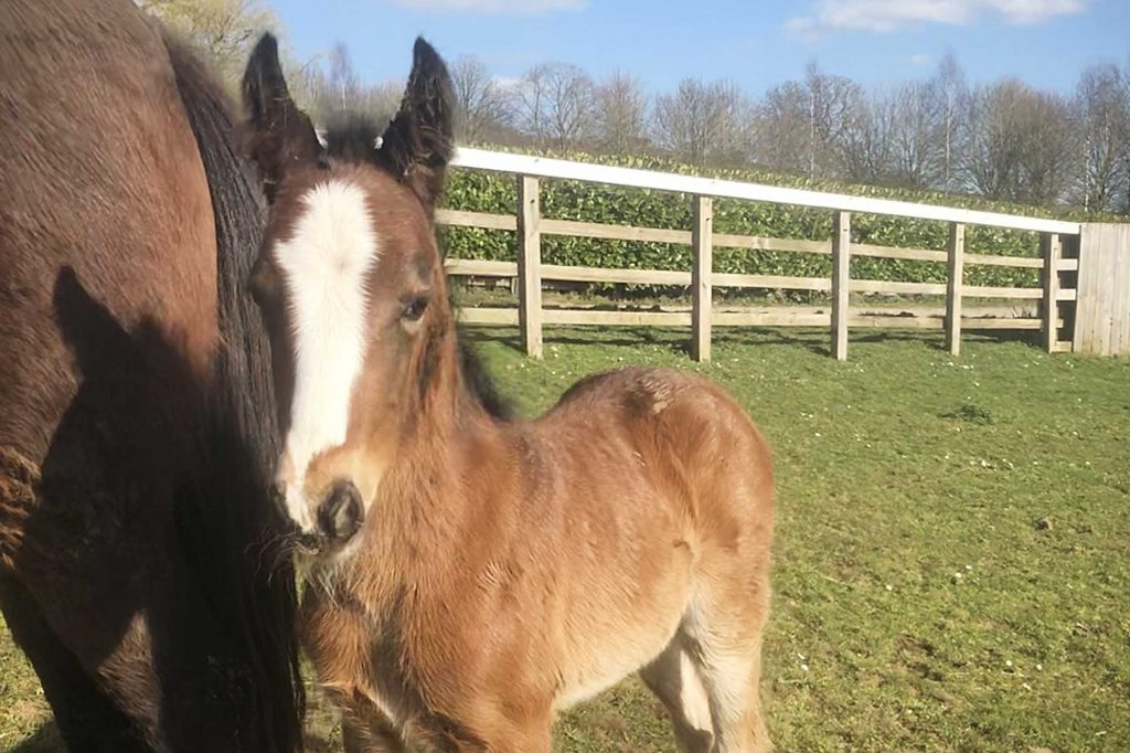 Young bay foal with white blaze