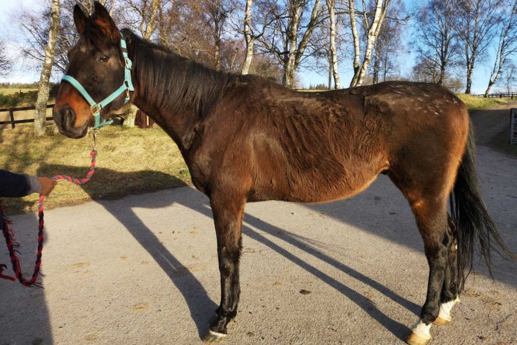 Emaciated bay Throroughbred