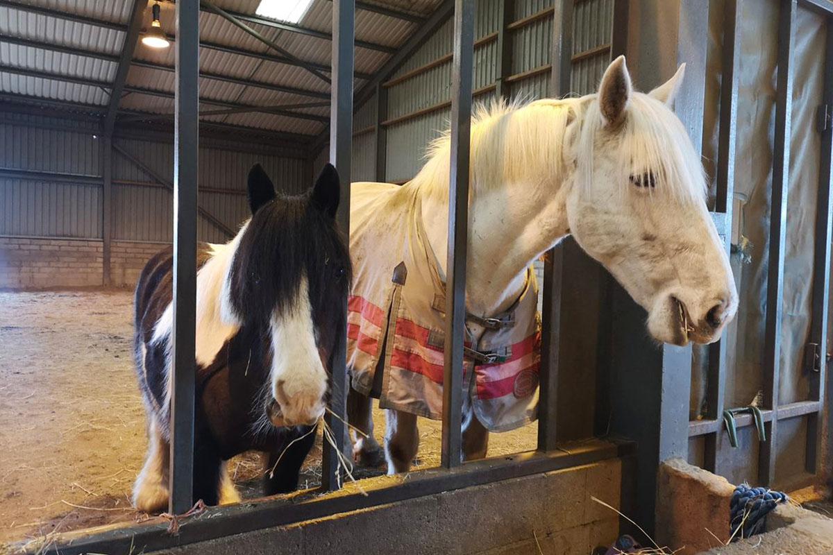 Ponies at Belwade farm eating from a hay feeder