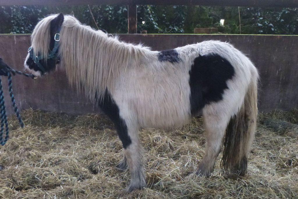 Underweight piebald pony with long winter coat