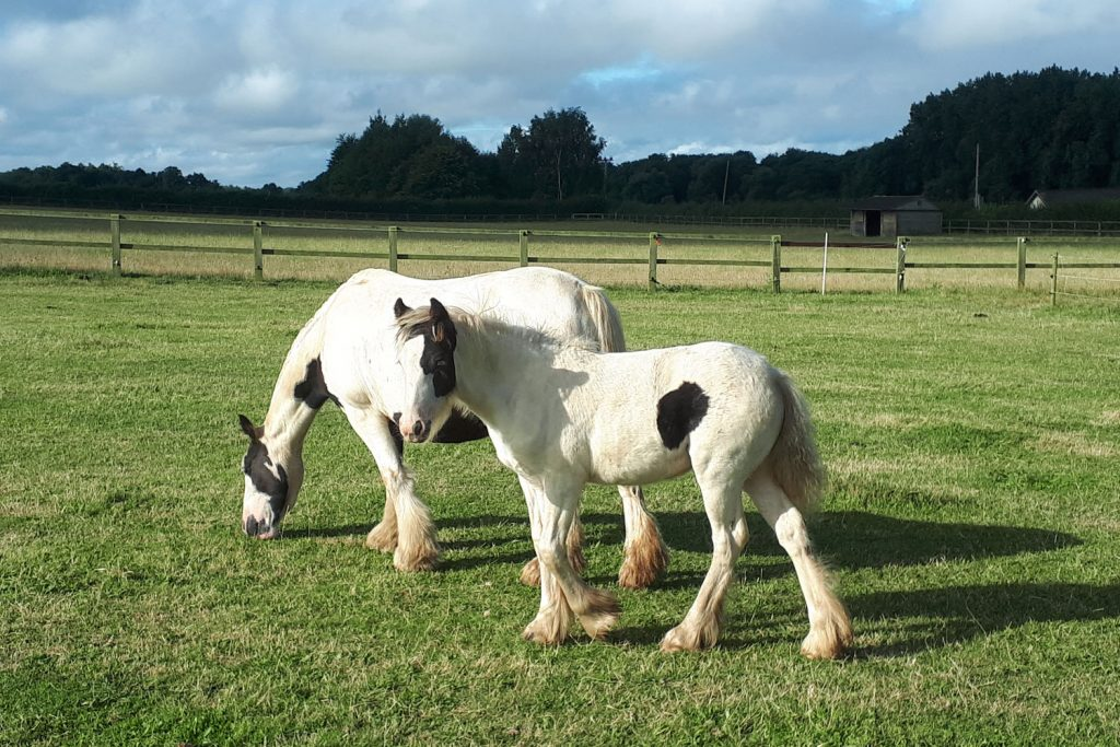 Two piebald ponies in a grassy field