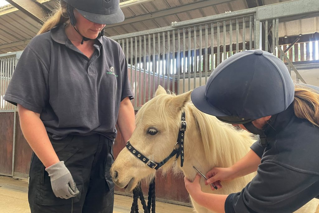 Two World Horse Welfare grooms work with a pony to get them used to injections
