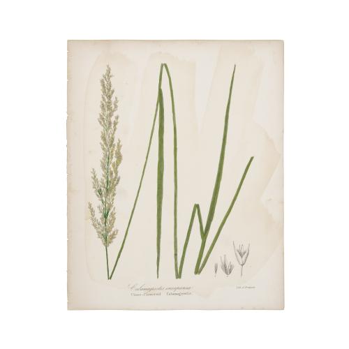 Close flowered Calamagrostis Print