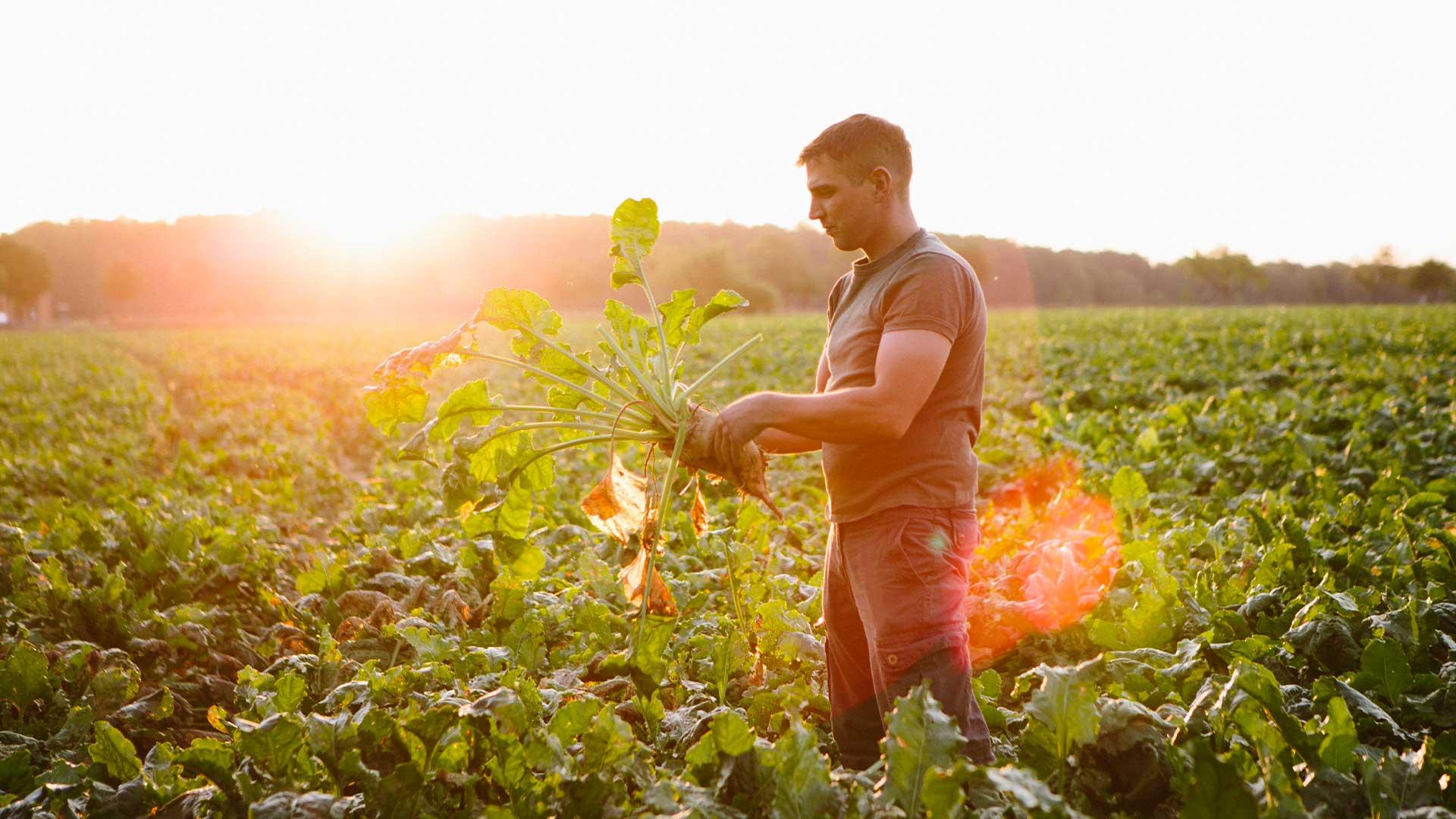 Bauer bei der Kontrolle seiner Zuckerrüben