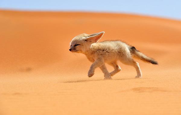 Vous allez craquer pour ce renard des sables du Sahara