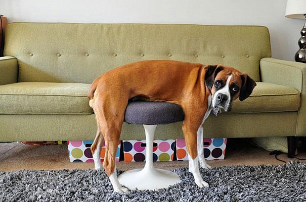funny-cats-dogs-stuck-furniture-1
