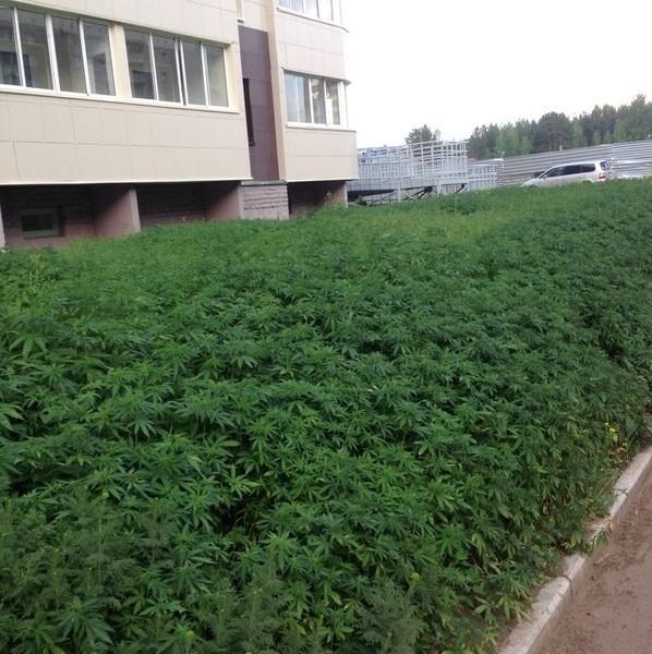 weed-Krasnoyarsk01