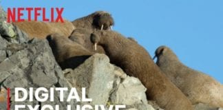 Our Planet   Walrus   Behind the Scenes   Netflix