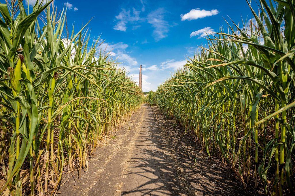 maize-maze