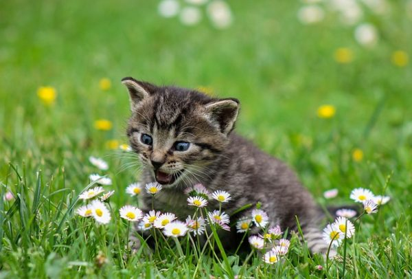 โรคพิษสุนัขบ้าในแมว