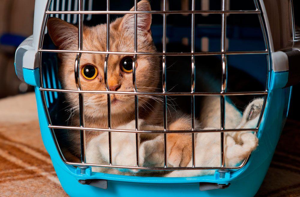 gato viajar con mascotas