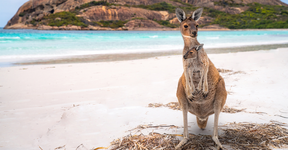 Kangaroo at Lucky Bay in WA