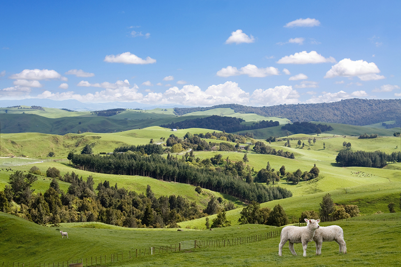 Two lambs grazing on the picturesque New Zealand landscape background.
