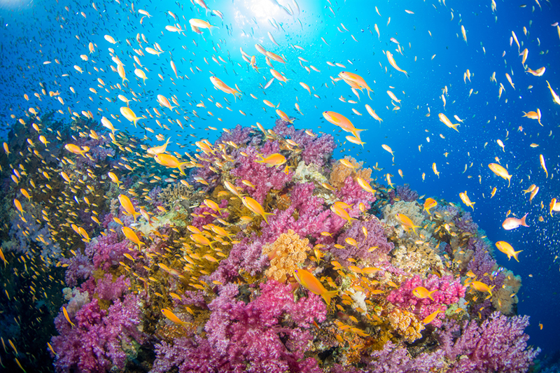 Beautiful coral reef in Egypt covered in pink soft coral and orange anthia fish with the sun and surface in background