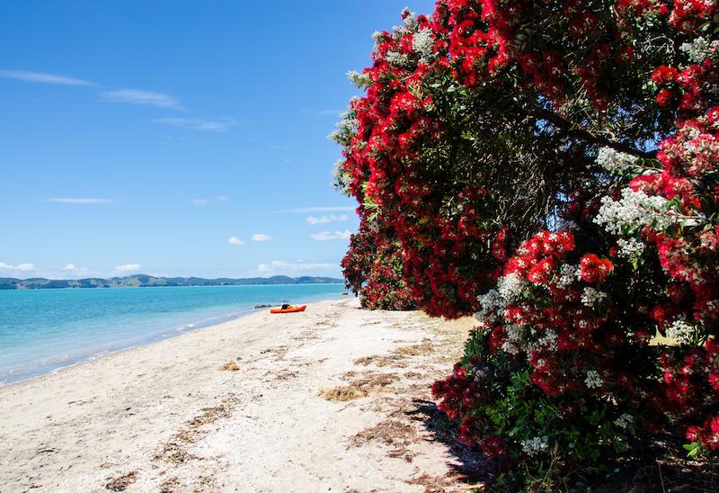 Pohutakawa tree in bloom on the coast between Maraetai Beach and Omana Regional Park, New Zealand