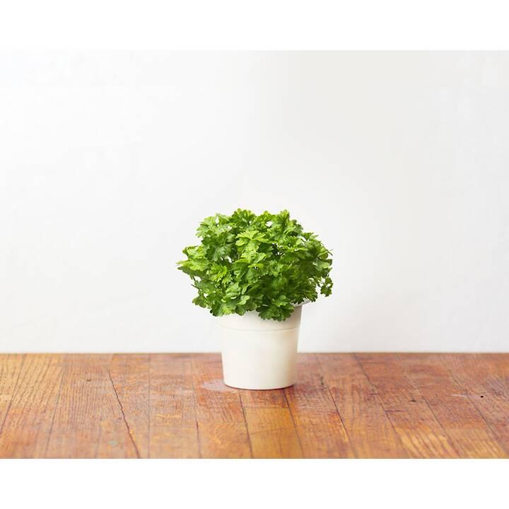 CLICK AND GROW Persil (3 pièce)