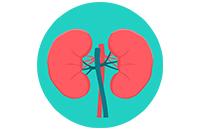 Бади для сечостатевої системи та нирок