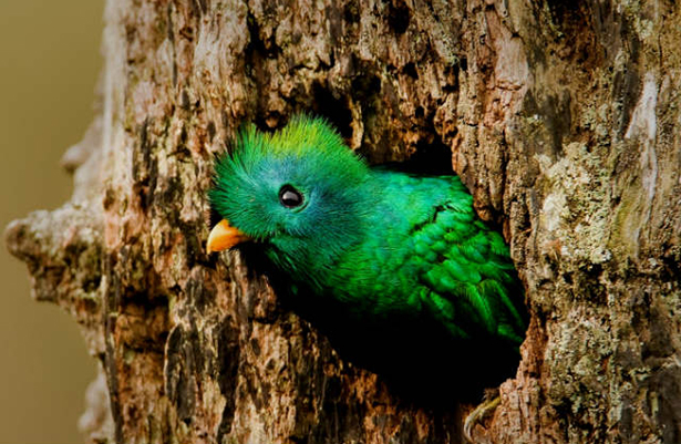 Quetzal foto Animal pictures society