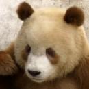 doblevia-panda-marron-qizai10