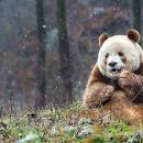 doblevia-panda-marron-qizai2