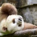 doblevia-panda-marron-qizai3
