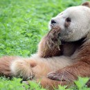 doblevia-panda-marron-qizai4