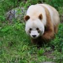 doblevia-panda-marron-qizai5