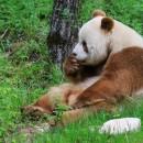 doblevia-panda-marron-qizai6