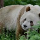 doblevia-panda-marron-qizai7