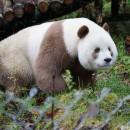 doblevia-panda-marron-qizai8