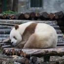 doblevia-panda-marron-qizai9