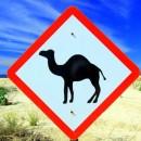 camellos_loscabos_12