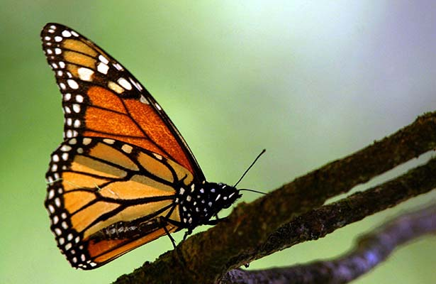 "Picture of a monarch butterfly ""Danaus Plexippus"" taken 26 November 2005 in the Oyamel forest at the El Capulin sancturay, 170 km from Mexico City. The Monarch Butterfly makes a yearly 4.500 km migration journey from Canada's Great Lakes region to the Mexican states of Mexico and Michoacan. AFP PHOTO/Agencia MVT - Mario VAZQUEZ"