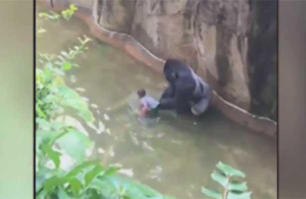 Matan a gorila para salvar a niño que cayó al foso en zoológico de Cincinnati