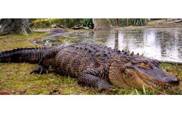 Capturan a cocodrilo que mató al niño Lane Graves, en Orlando, Florida